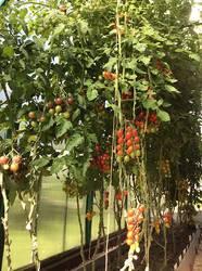 Слева Сладкая шоколадная гроздь, справа V355, за ним Саммер Сан 21.08.20