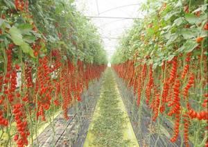 Pachino-Tomatoes-Italy.thumb.jpg.1d1f62c1607fed50f49db34396b5022a.jpg.cefb00023b3157d09e48eb6651598f6d.jpg