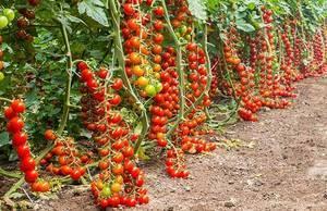 Pachino-Tomatoes.thumb.jpg.ea3dc4734dec87d7707e3a43f94f0011.jpg.d63c266325557a126dffbff445571041.jpg