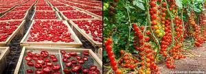 original_Pachino-Tomato-Cultivation.thumb.jpg.3536aeaa58399a635c3e37cd979f0c98.jpg.3208d2980906db98c4d6d6475bc0e0bc.jpg