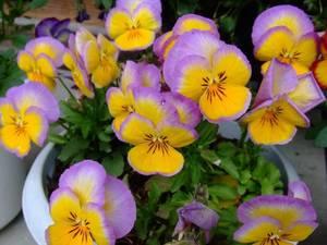 A_Pansy Ultima Radiance Lilac (3).jpg