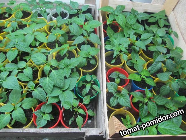 Острые перцы 2 месяца от посева