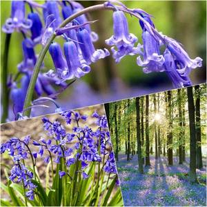 15-large-english-bluebell-bulbs-hyacinthoides-non-scripta-2025-p.thumb.jpg.bb48653b7931bd857f32bc0641e2367e.jpg