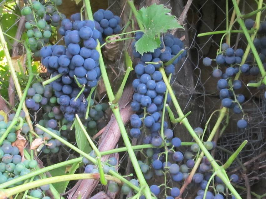 Виноград синий винный.jpg