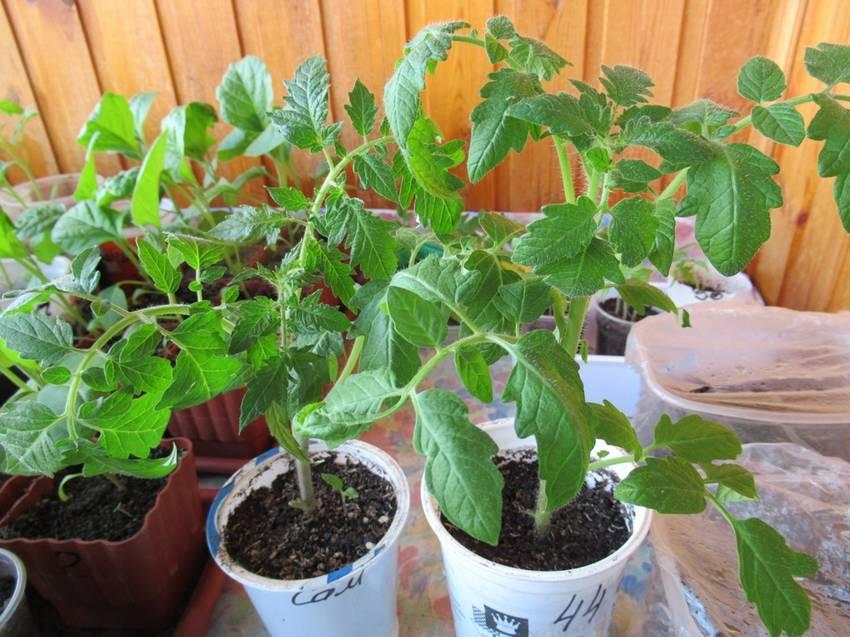 тоже макушки томатов но от 16 марта.jpg