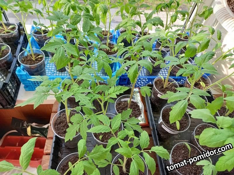 томаты (посев 6.03)