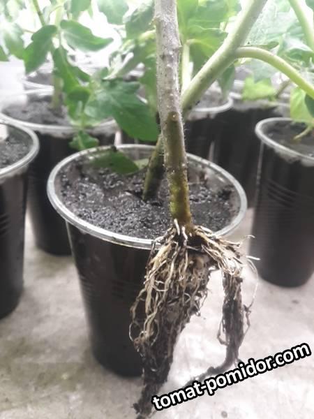 Зеленая зебра gl seeds