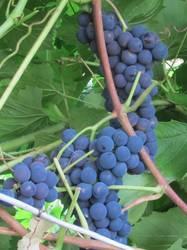 Виноград синий винный2.jpg