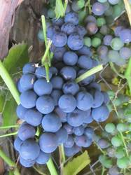 Виноград синий винный1.jpg