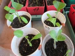 корни томатов с привитыми баклажанами.jpg