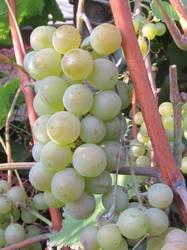 виноград Алешенькин1.jpg