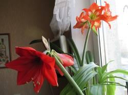 цветут 2 гиппеаструма.jpg