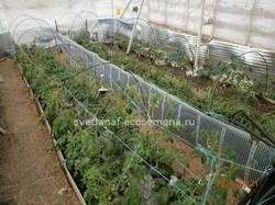 томаты в теплице-21-04-2021