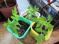 макушки томатов обрезанные 8 дней назад посаженные прямо в землю.jpg