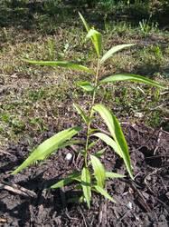 персик высажен в сад.jpg