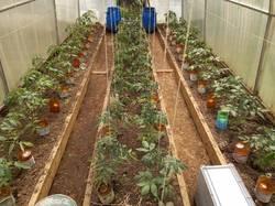 томаты месяц живут в теплице