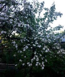 Айва в цвету.jpg