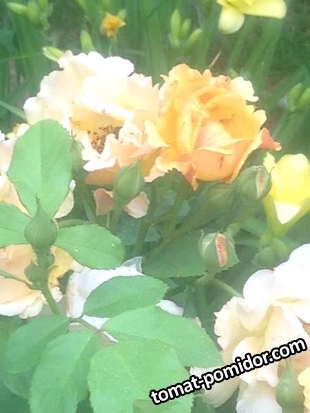 Роза Полька.JPG