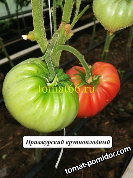 Приамурский  крупноплодный (1).jpg