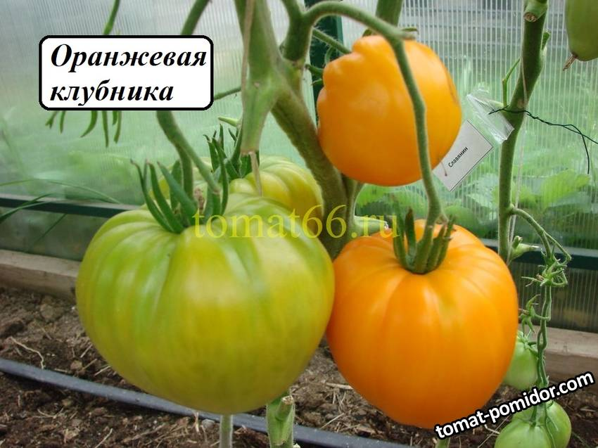 Оранжевая клубника (2).JPG