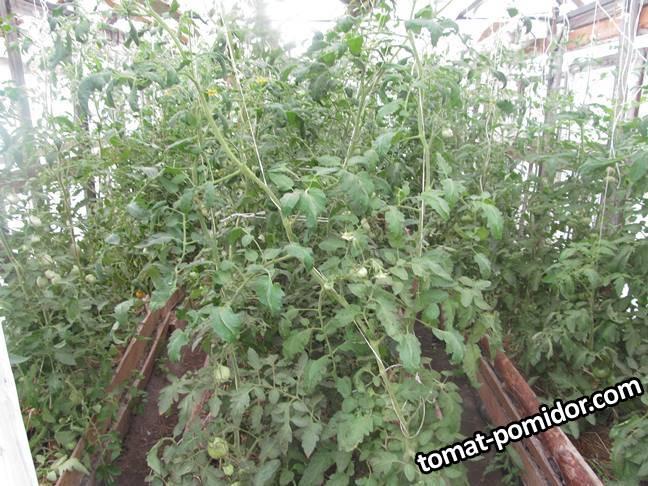 2007_томатные джунгли.JPG