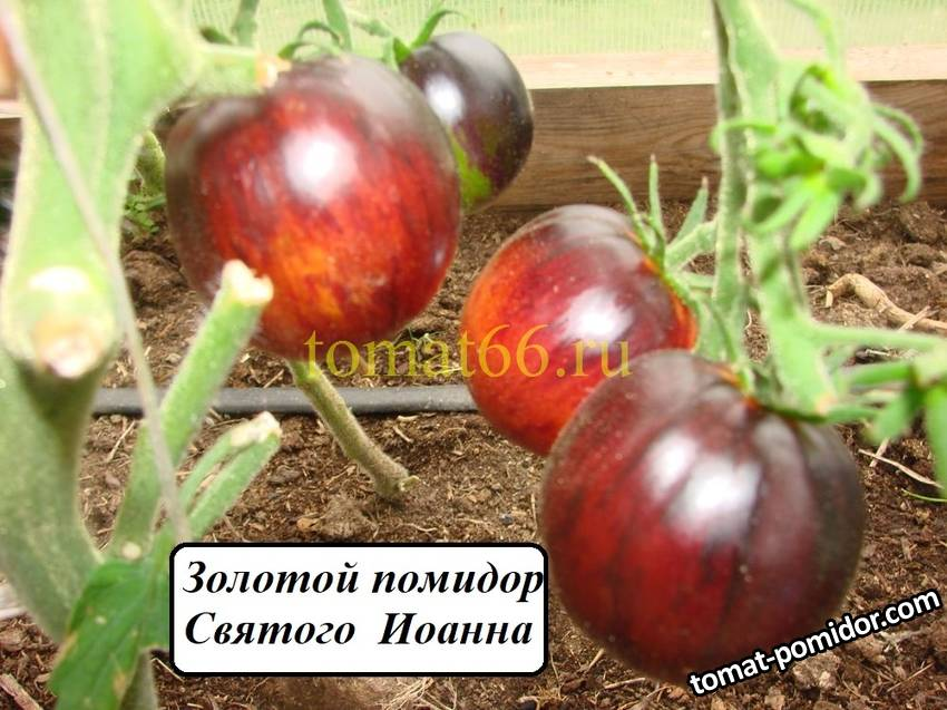 Золотой помидор Святого  Иоанна (1).JPG