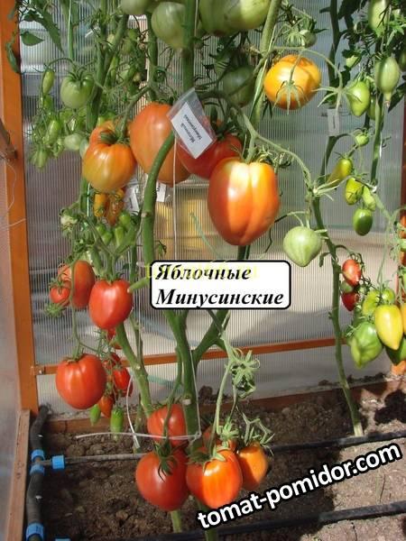 Яблочные Минусинские (4).JPG