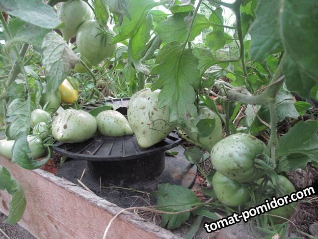 2007-томаты.JPG