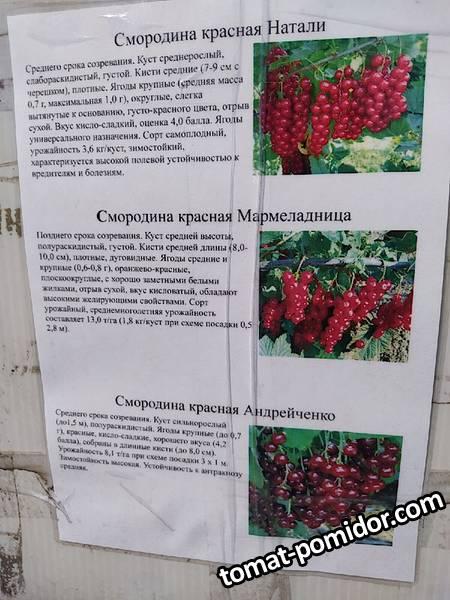 Егорьевский красная смородина