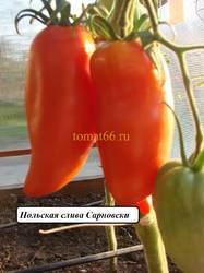 Польская слива Сарновски (2).JPG