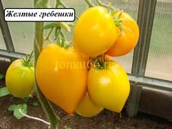 Желтые гребешки (3).JPG