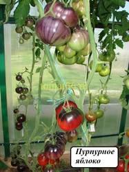 Пурпурное яблоко (2).JPG