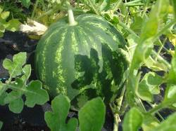 DSC00444.JPG арбуз Монастырский семена от Гузель(присылала москвичам)
