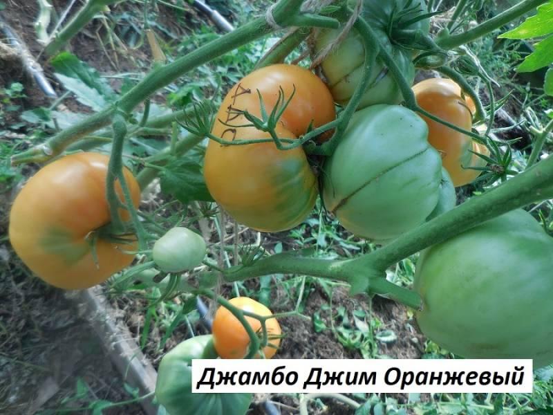 Джамбо Джим Оранжевый