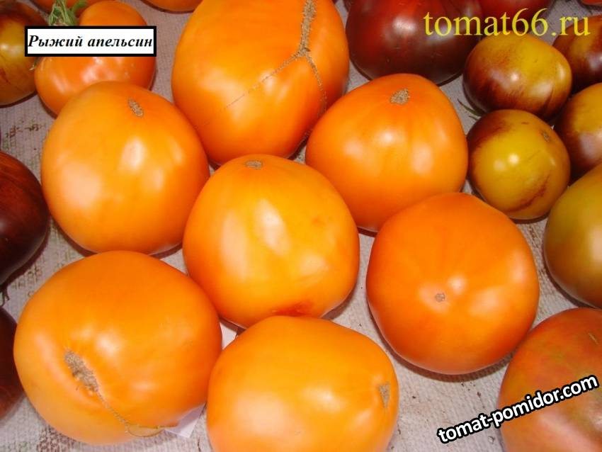 Рыжий апельсин.JPG