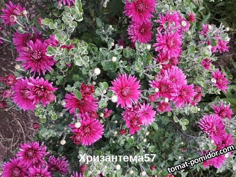 Корейская хризантема.jpg