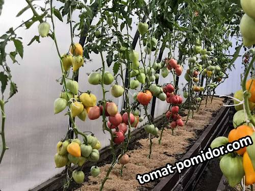 Просто помидоры
