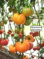 Оранжевый орангутанг (2).JPG