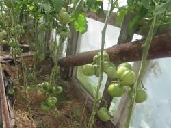 090821-томатные остатки.JPG