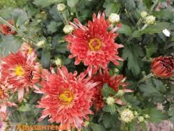Корейская хризантема Деко.jpg