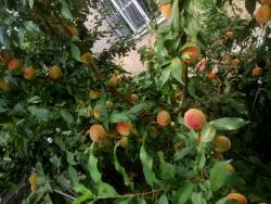 Персики-2021. Первый урожай.jpg