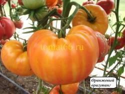 Оранжевый орангутанг (4).JPG