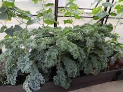 Листовая капуста кейл (кале). Семена из СП ТП.
