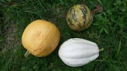 Мелонетт, Mashed potato F1 и семенной Колобок)