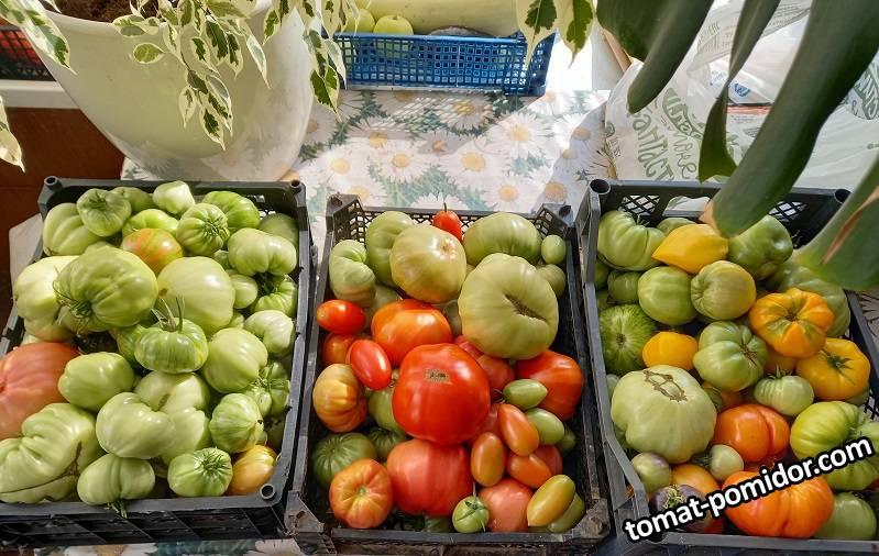 последние помидорки