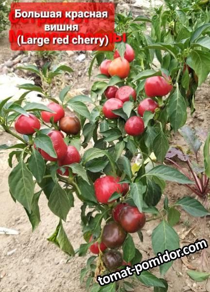 Большая красная вишня остр.3.jpg