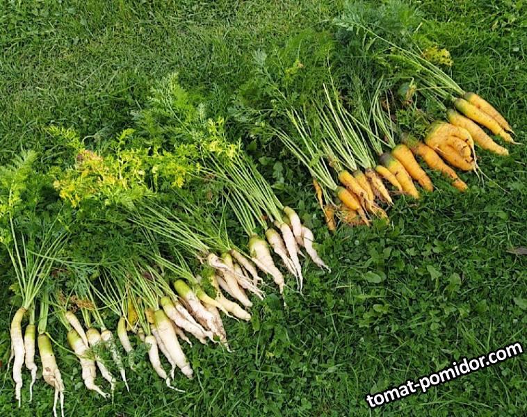 Морковь Золотая Королева и Белая Королева (Гавриш)