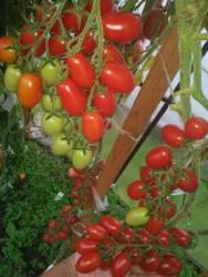 Даттерини красный (Datterini red) 2.jpg