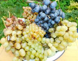 виноград DSCN3526.png