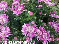 Корейская хризантема Улыбка.jpg